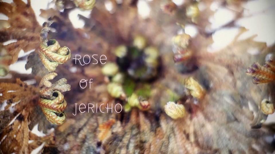 Rose of Jericho